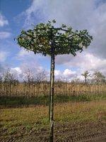 Bomenweb - Beukenhaag online kopen